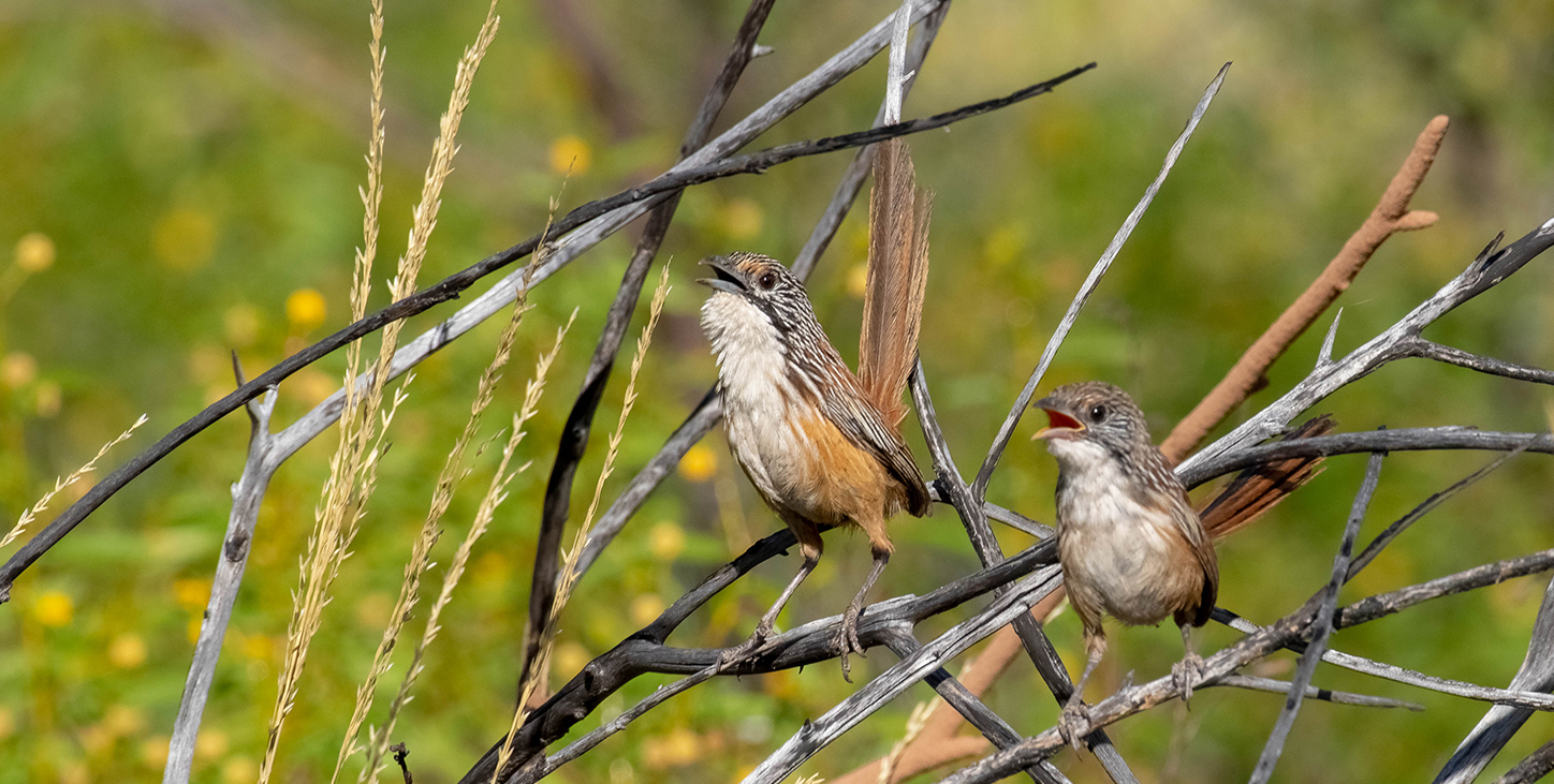 Carpentaria Grass Wren_Male and Juvenile_Anthony Woodbine