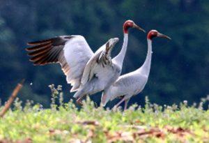 The Australian race (gilliae) of the Sarus Crane.