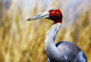 A potrait of an adult sarus crane or Grus antigone in its natural habitat.